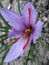 What is saffron,about saffron,saffron,price of saffron,saffron price,spice,buy saffron,bulk saffron,iranian saffron,pure saffron